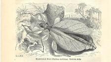 Stampa antica INSETTO Phyllium siccifolium INSECTA 1891 Old antique print