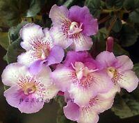 Mini Sinningia SRG's MAGIC FOUNTAIN tuber African Violet kin