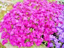 Flowers seeds Aubrieta hibrida Pink creeping  from Ukraine