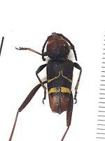 Beetle, 30392, Cerambycidae sp. from Vietnam