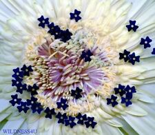 VINTAGE FLOWER SEQUINS COBALT NAVY BLUE PAILLETTES FRENCH CLOVER DOLL TRIM 5mm