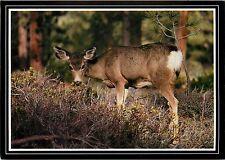 Bryce Canyon National Park Postcard Mule Deer Utah UT