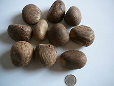 """Tagua Nut Whole Carving Dried Uncut 10 Nuts Medium Raw1"""" to 1 1/2"""""""