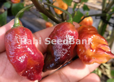 Orange Tiger Taj Mahal Chilli - A Fruity Flavoured Hot & Rare Variety - OZ Grown