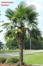 100x Palmen Samen Trachycarpus fortunei (Chin. Hanfpalme) Winterhart -19°C