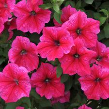 PETUNIA 'Rose of Heaven' 100 seeds flower garden