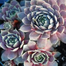 SEMPERVIVUM PACIFIC BLUE ICE -COLD Hardy-3 TO 9 Succulent  Hen And Chick