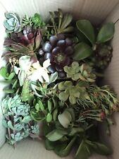 X 50 Succulents Cuttings Plants Mix The Lot
