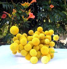 100 Graines Craspedia globosa 'Drumstick' Billy Balls, Billy Buttons seeds