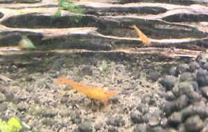 10 +1 Tangerine Tiger Shrimp - Live Guarantee - USA Stock
