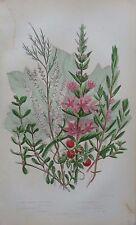 Antique Botanical Print Purple Loosestrife Water Purslane Anne Pratt 1860s
