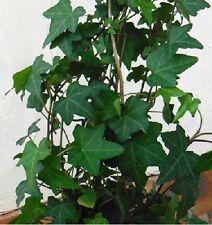 5 Pflanzen Zimmerefeu für dunkle feuchte kühle Stellen immergrün schnellwüchsig