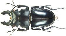 Insect - Odontolabis siva siva - Vietnam - Male 71~74mm ....!!
