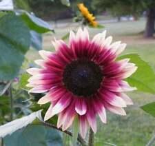 25 Cherry Rose Sunflower Seeds Flowers Seed Flower Perennial Sun Bloom 1066