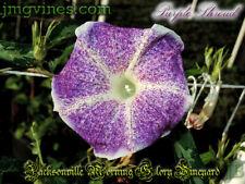 Purple Shroud Japanese Morning Glory 6 Seeds