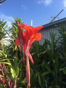Canna Green Leaf Red Flower X 5 Rhizomes