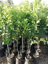Pianta di limone MEYER in fitocella (foto reali)
