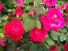 Double Knock Out® Red Rose 2 Gal Live Plants Flower Plant Disease Resist Roses