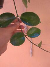 HOYA AUSTRALIS 1X Esqueje 10 -12 cm aprox. Cutting  suculenta Succulent sin raiz