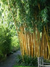 50+ fresh Chinese Timber Bamboo Seeds Phyllostachys Vivax USA Seller