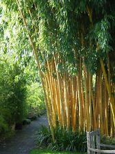 50+ fresh Chinese Timber Bamboo Seeds Phyllostachys Vivax USA Seller