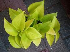Efeutute Scindapsus Epipremnum  Neon frischer  Steckling  Feng Shui Pflanze