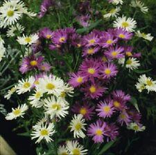 30+ ASTER NOVAE BELGII FLOWER SEED MIX  / ANNUAL