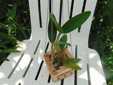 """Cattleya guttata var. alba 'Fields' 4"""" wood slat basket Species"""