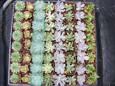36 Assorted Succulent Plants - 2 inch pot -Many varieties !!!Great for Wedding