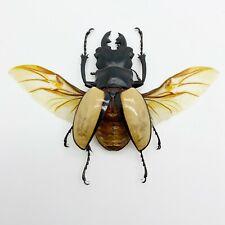 Large Odontolabis ludekingi (Spread) Stag Beetle Insect Collector Specimen Art