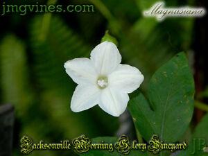 Magnusiana Ipomoea Magnusiana 8 Seeds