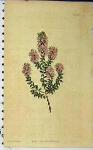Old Antique Print 1811 Hand Coloured Flower Curtis Edwards Sansom N.1357 19th