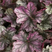 HEUCHERA[CORAL BELLS]BLACKBERRY ICE Plant