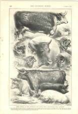 1879 Pencil Sketches Of Animals Smithfield Club Show, Cattell