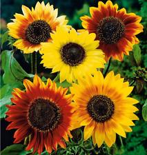 Fleur Tournesol Helianthus Annuus Automne Beauté 100 Graines par Pack