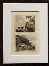 Impresión de color mano montado Buffon Antiguo c.1800 - grabado-Mangosta-Hámster
