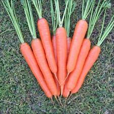 Zanahoria Nantes temprana Dedo Zanahoria dulce y jugoso parachoques semilla Deal 2000 + Semillas