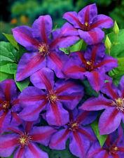 "Plant Mrs. N. Thompson Clematis Vine Purple & Scarlet Blooms 2.5"" Pot"