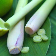Lemon Grass 50 Seeds CULINARY HERB Asian MEDICINAL Cymbopogon flexuos PERENNIAL