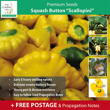 "Squash Button ""Scallopini"" seeds 