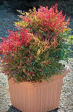 Sacred Bamboo (Nandina domestica) 30 Seeds Bonsai/Feature