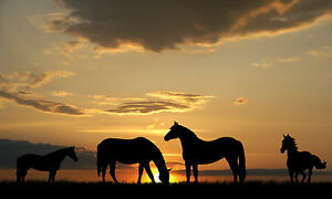 Horses in Sunset Large A3 Size 16x11 inch Photo Poster Scene View Pony Ponies