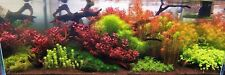 50 Red & Pink Species Plants BUNCHED & WEIGHTED - tropical live aquarium plant