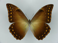MORPHO TELEMACHUS ssp.MIERSI !!!!(2015) * male A1---* BRAZIL(unmounted)