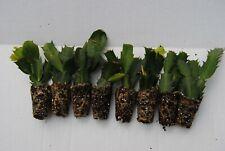 Propagating Christmas Cactus.Schlumbergera Cacti Flowering Cactus Succulent Plants For
