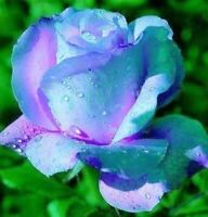 Rare 10 graines de Rosier rose BLEU & ROSE / 10x BLUE & PINK Rose rosebush seeds