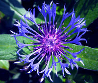 CORNFLOWER MOUNTAIN BLUET PERENNIAL Centaurea Montana - 100 Bulk Seeds