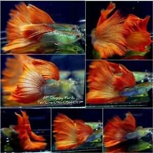 1 Trio - Live Guppy Fish High Quality - Tuxedo Red Lace BDS- USA Seller
