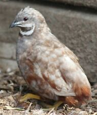 12+ Button Quail  Hatching Eggs NPIP & AI