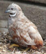 12 Button Quail Hatching Eggs Npip Amp Ai